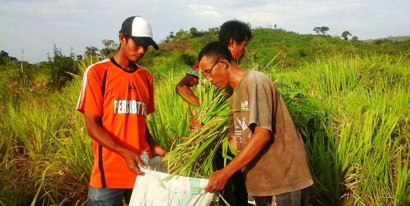 Rumput gajah--pakan ternak tumbuh subur di LAR Ai Ampuk Plampang